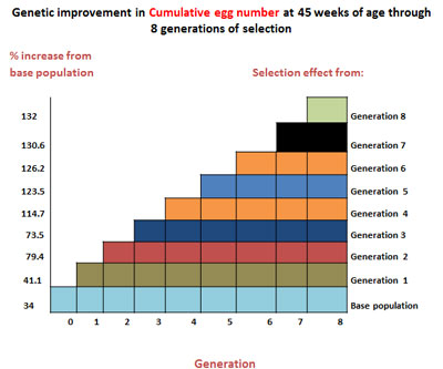 Genetic improvement in cumulative egg number at 45 weeks of age through 8 generations of selection (image credit: ILRI)